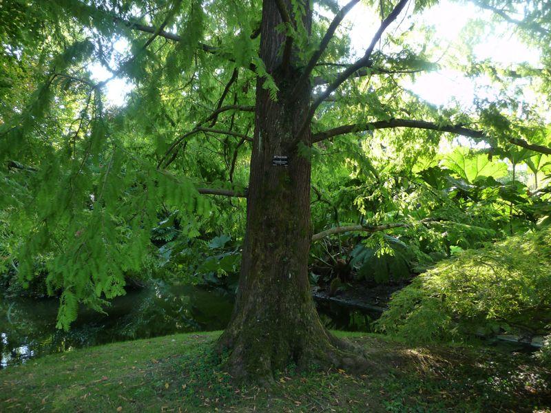 Metasequoia Jardin des Plantes de Nantes