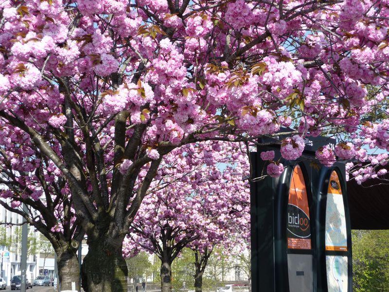 Cerisier Bicloo Nantes